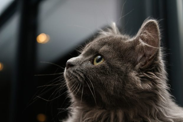 gray cat on blue background